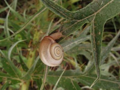 Molluschi terrestri: Monacha cartusiana