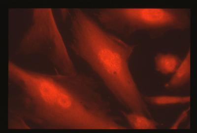 Fibroblasti di stenella striata (Stenella coeruleoalba) dopo Immunofluorescenza indiretta. Alexa Fluor 594 (intensità 133 ms).