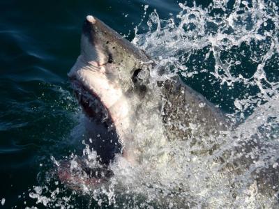 Grande squalo bianco (Carcharodon carcharias) sudafricano