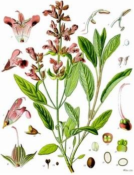 "Salvia officinalis L. – ""salvia salvatrix"""