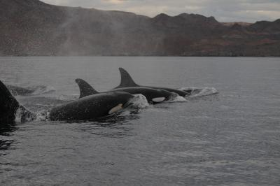 Gruppo di orche (Orcinus orca) in Baja California (Messico).