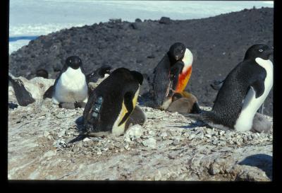 Studi di ecologia del pinguino di Adelia
