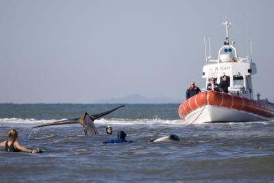 Collaborazione nell'intervento su cetaceo spiaggiato vivo con la Capitaneria di Porto